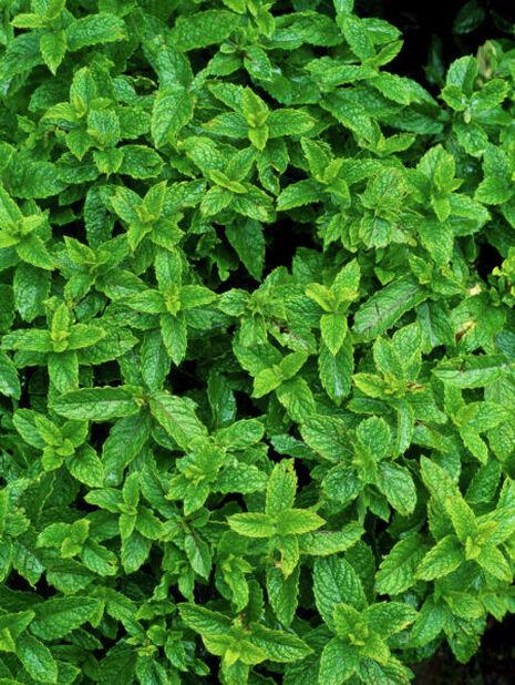 Marockomynta, Ø12 cm, Grön