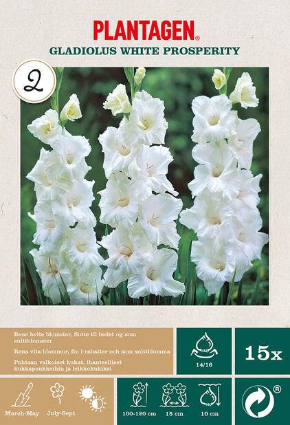 Storblommig gladiol 'White Prosperity', Vit