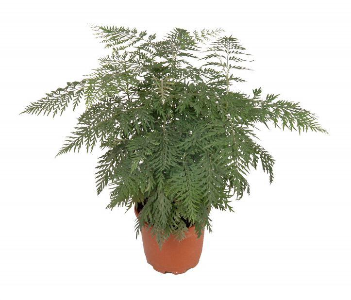Silvergrevillea 'Robusta', Höjd 25 cm, Grön