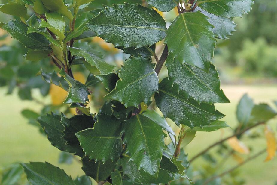 Blå järnek 'Heckenstar', Höjd 25-30 cm, Grön