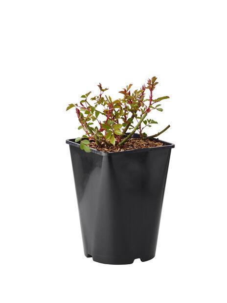 Marktäckande ros ´Lavender Dream´, Höjd 25 cm, Lila