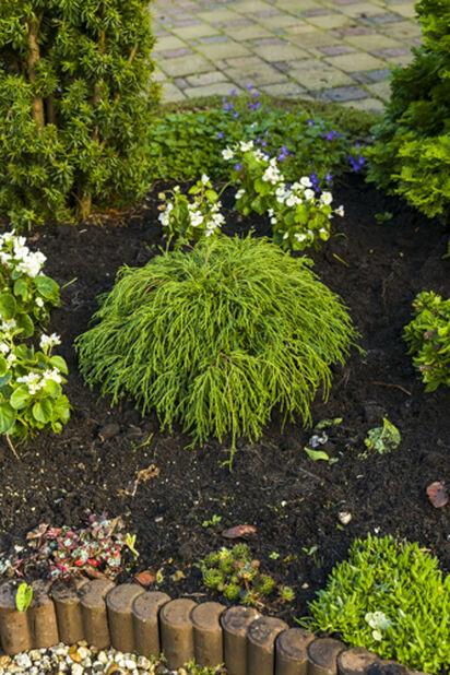 Trådcypress 'Filifera Nana', Ø26 cm, Grön