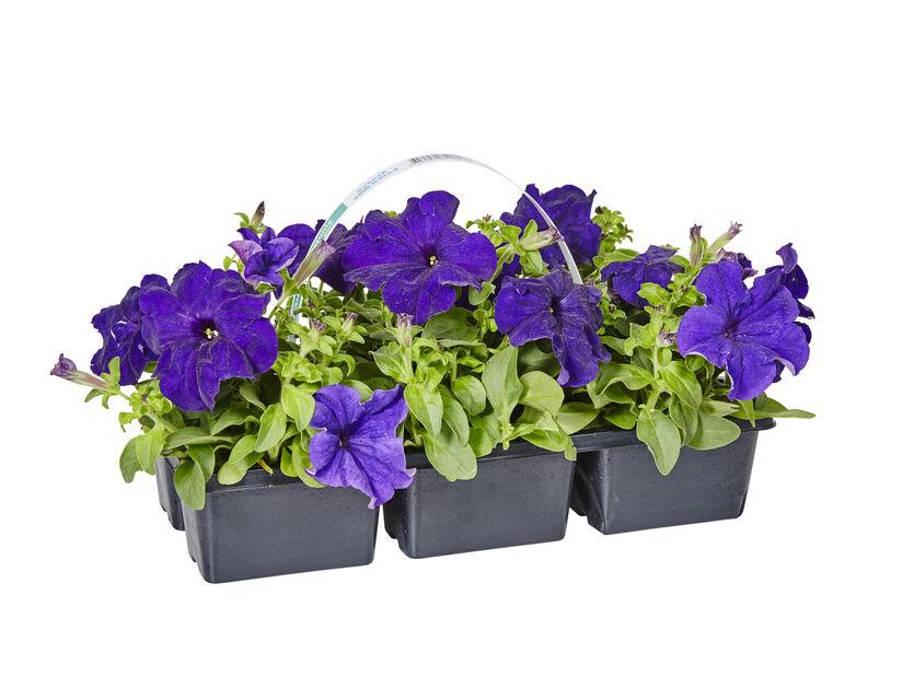 Petunia 6-pack blå
