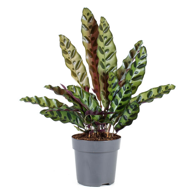 Marmorblad, Höjd 30 cm, Grön
