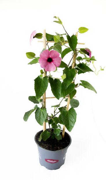 Svartöga, Ø12 cm, Rosa