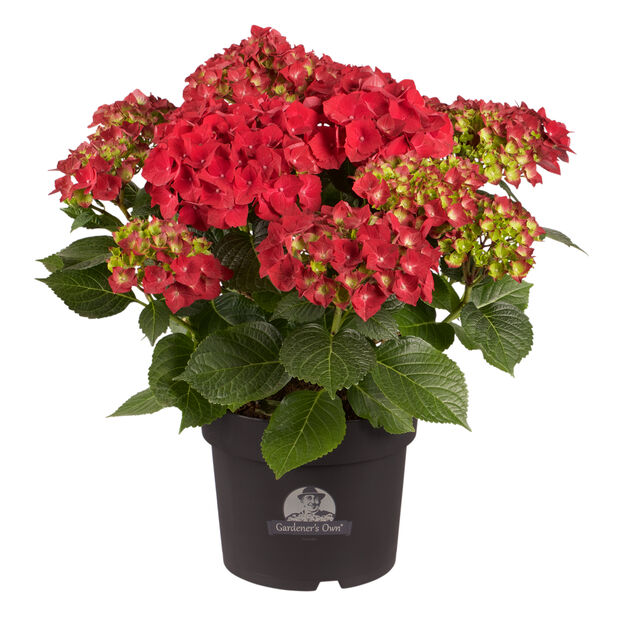 Hortensia, Ø21 cm, Röd