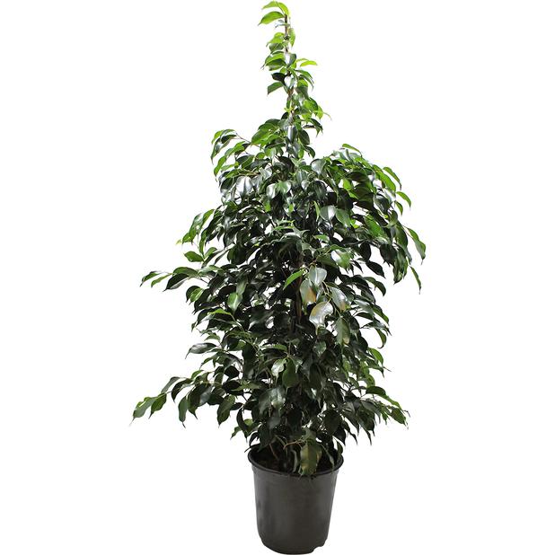 Fikus 'Danielle', Höjd 135 cm, Grön