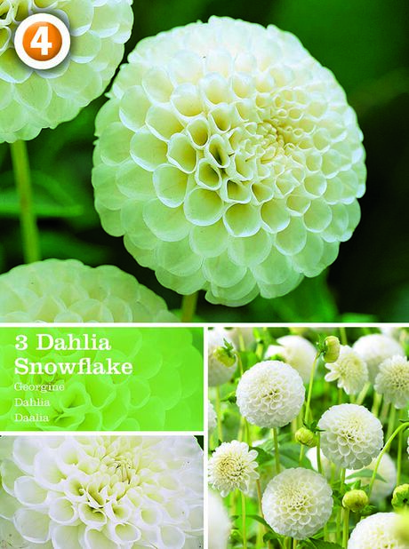 Dahlia 'Snowflake', Vit
