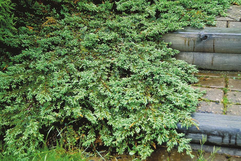 Dvärg-en 'Green Carpet', Höjd 25-30 cm, Grön