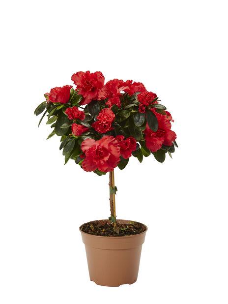 Azalea på stam, Ø12 cm, Röd