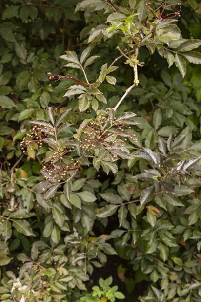 Sambucus nigra 5L