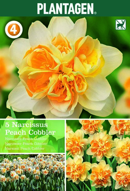 Påsklilja 'Peach Cobbler'