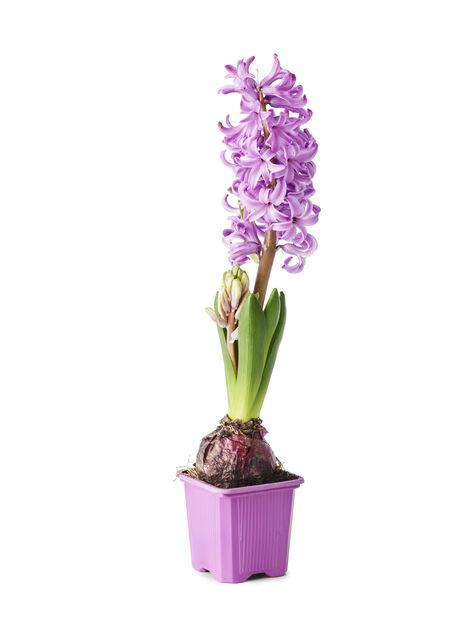 Hyacint, Lila