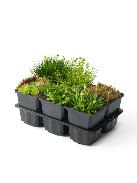 Stenpartiväxter, Höjd 10 cm, Grön