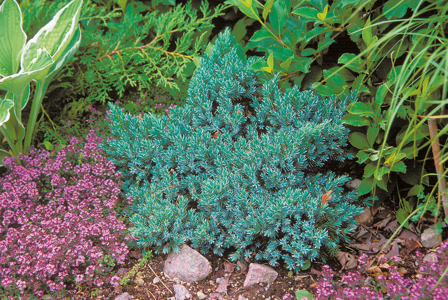 Himalaya-en 'Blue Star', Höjd 15-20 cm, Blå