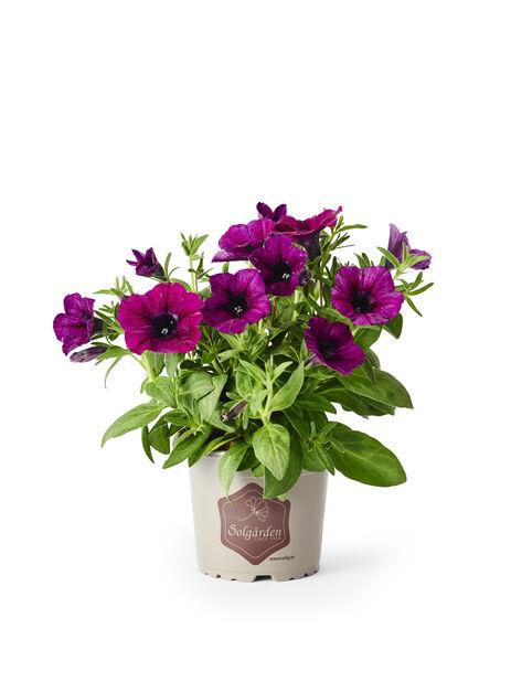 Petunia 'Purple', Ø12 cm, Lila