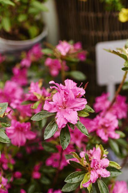 Japansk azalea 'Roza', Ø23 cm, Rosa