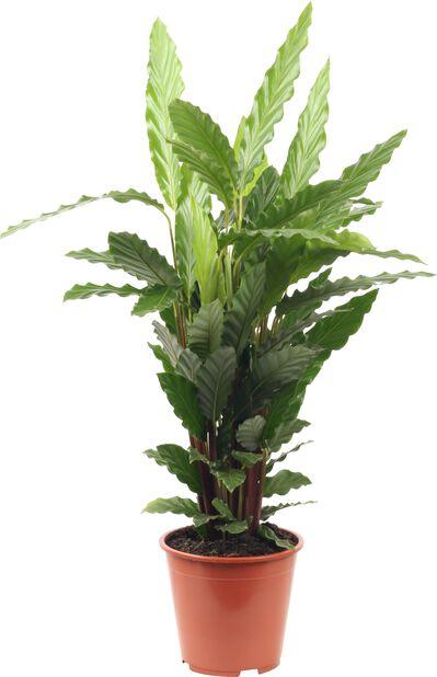 Kalatea 'Mirosha', Höjd 80 cm, Grön