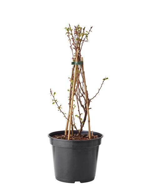 Liten rosenkvitten, Höjd 40 cm, Röd