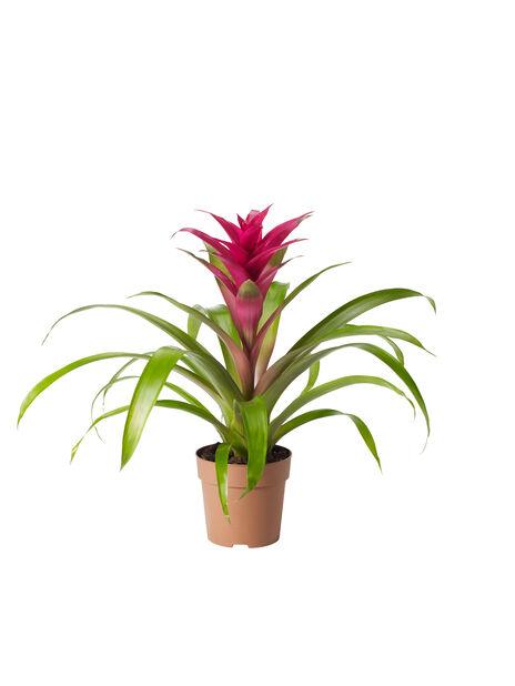 Juvelblomma lila
