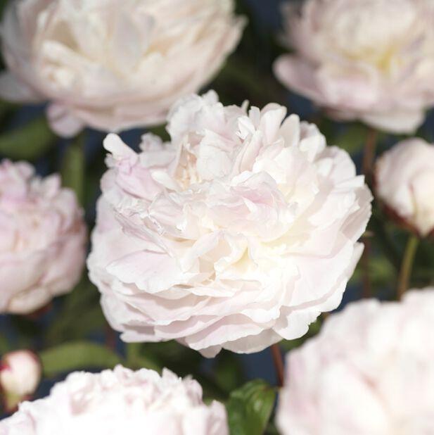 Luktpion, olika sorter, Ø14 cm, Rosa