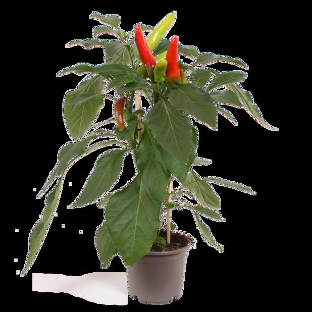 Chili, Ø14 cm, Röd