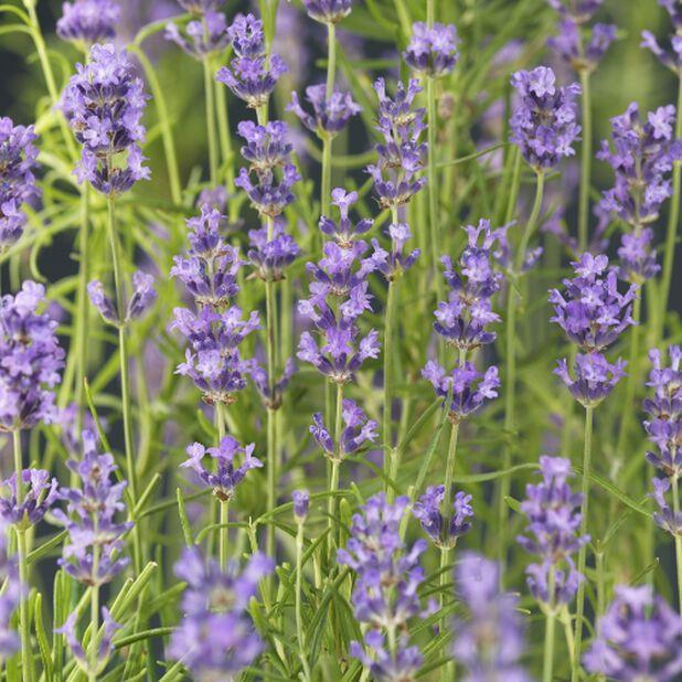 Lavendel, Ø26 cm, Blå
