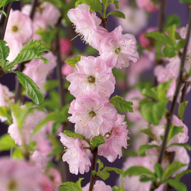 Rosenmandel på stam, Höjd 80-100 cm, Rosa