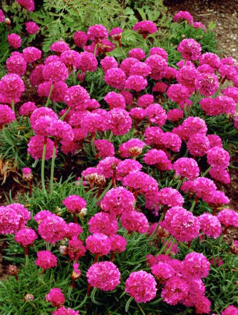 Trift, olika sorter, Ø12 cm, Flera färger