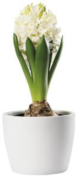 Hyacint, Ø7 cm, Vit