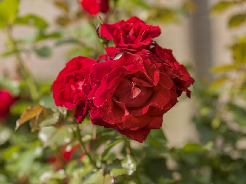 Terrassros, Ø19 cm, Röd
