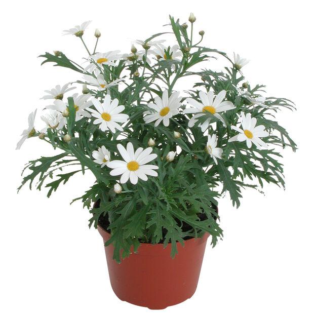 Margerit 'Molimba White' 10,5 cm