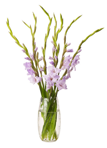 Gladiolus 7-pack