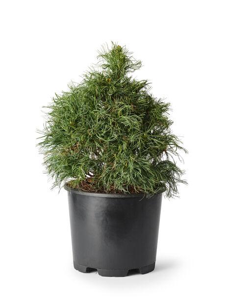 Weymouthtall 'Green Curls' , Höjd 50 cm, Grön