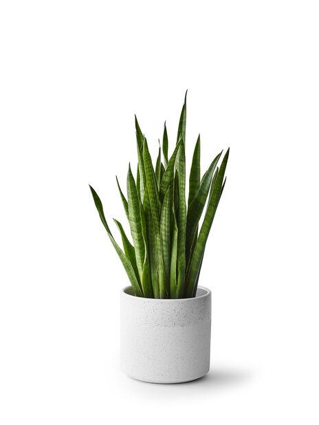 Svärsmors tunga, Höjd 55 cm, Grön