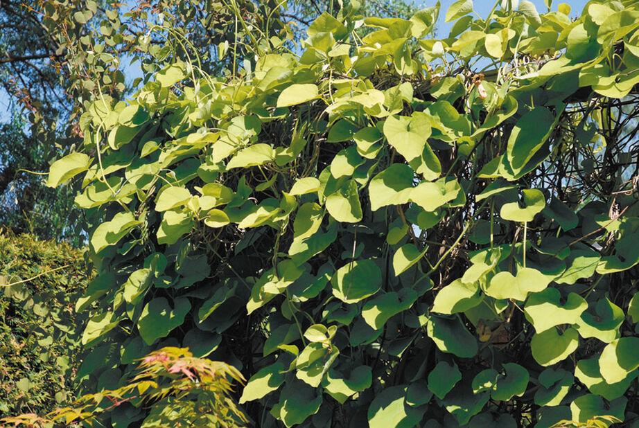 Pipranka, Höjd 70 cm, Grön