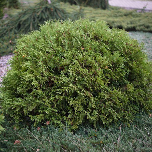 Tuja 'Woodwardii'    , Ø26 cm, Grön