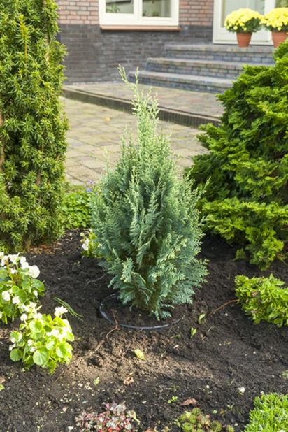 Ädelcypress 'White Spot', Höjd 60 cm, Grön