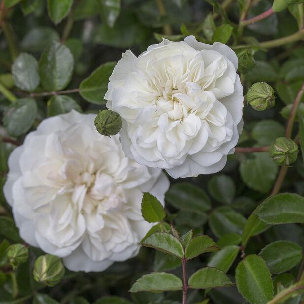 Marktäckande ros 'Swany' , Ø19 cm, Vit