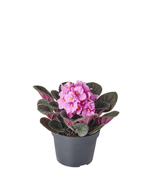 Saintpaulia , Höjd 15 cm, Rosa