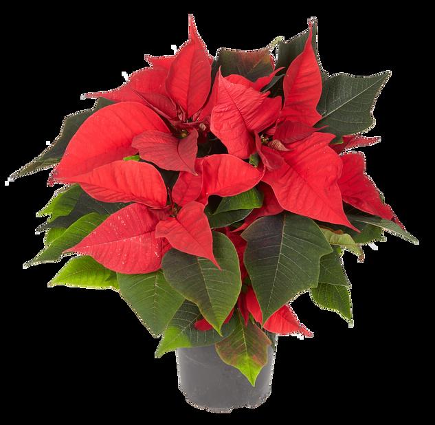 Julstjärna, grenad 12 cm, röd