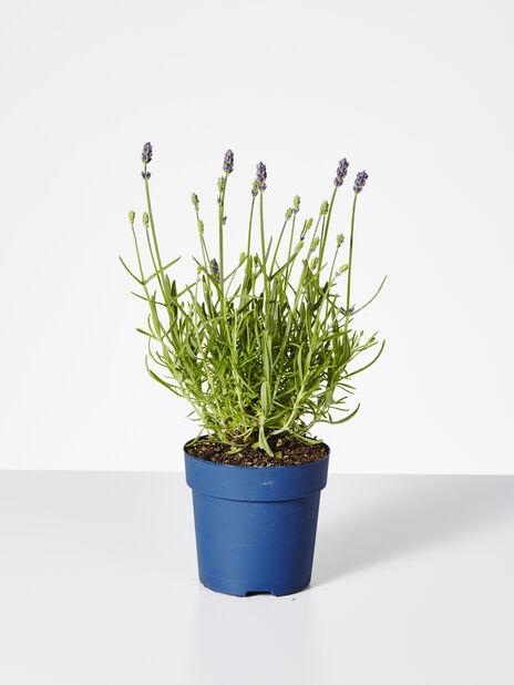 Lavendel 'Felice'