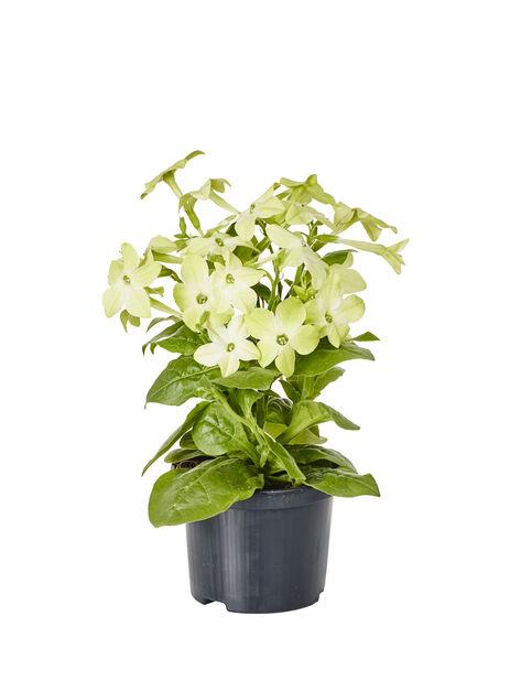 Stor blomstertobak, Ø12 cm, Flera färger