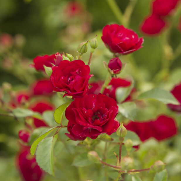 Marktäckande ros ´Fairy Queen´, Ø19 cm, Röd