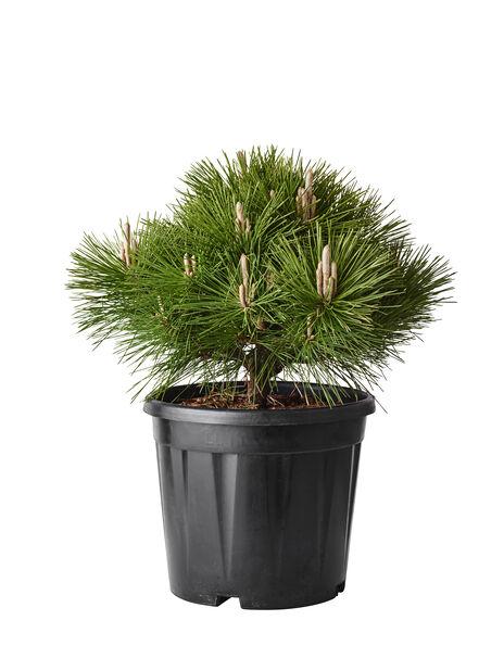 Svarttall 'Oregon Green', Höjd 80 cm, Grön