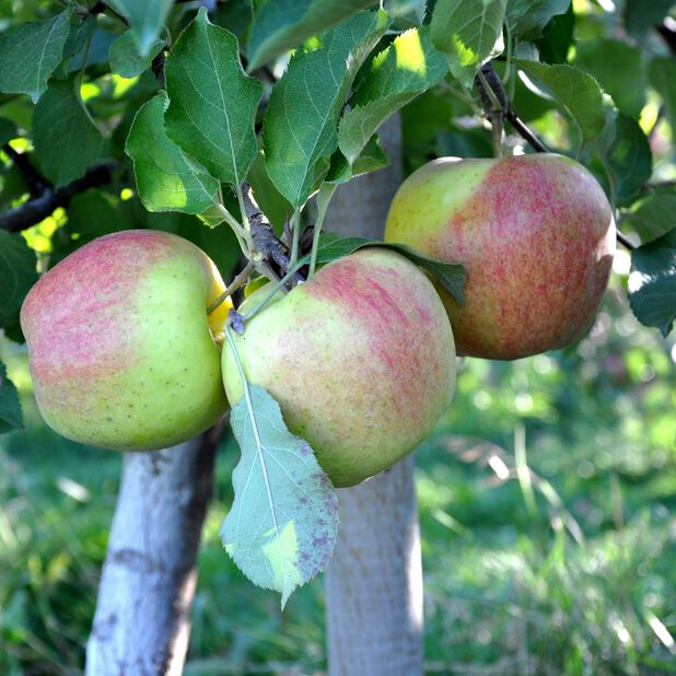 Äpple 'Filippa' A2, Höjd 150 cm, Grön