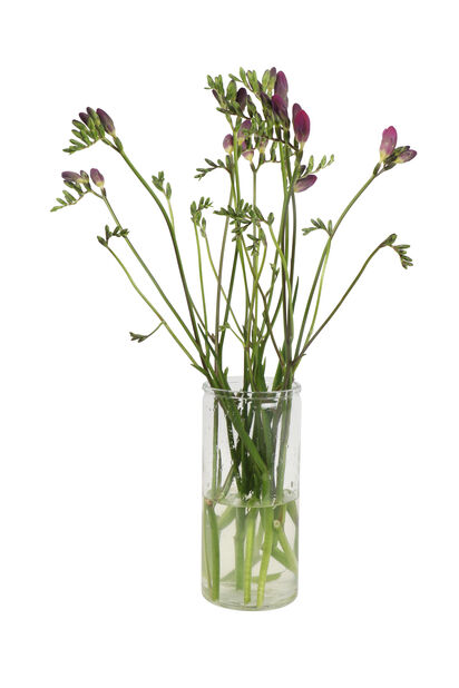 Freesia, Höjd 50 cm, Flera färger