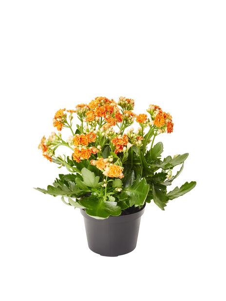 Kalanchoe, Höjd 30 cm, Orange
