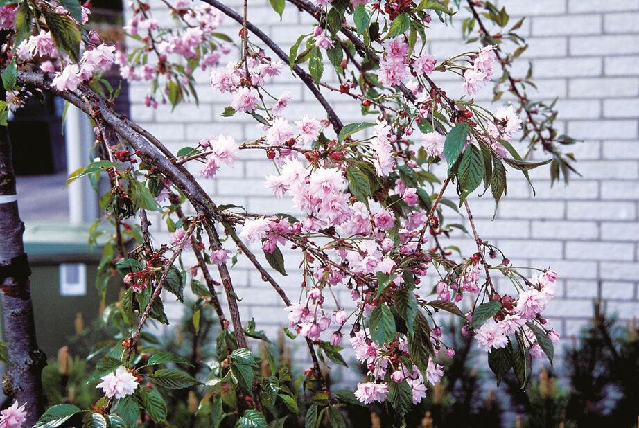 Japanskt hängkörsbär 'Kiku-shidare-zakura', Ø32 cm, Rosa