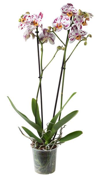 Brudorkidé, Ø12 cm, Flera färger